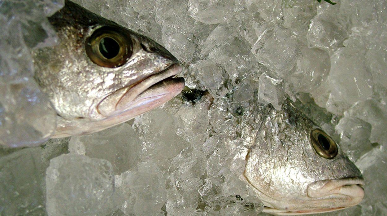 Afbeelding van 'Welzijn vis moet beter voordat het op bord beland'