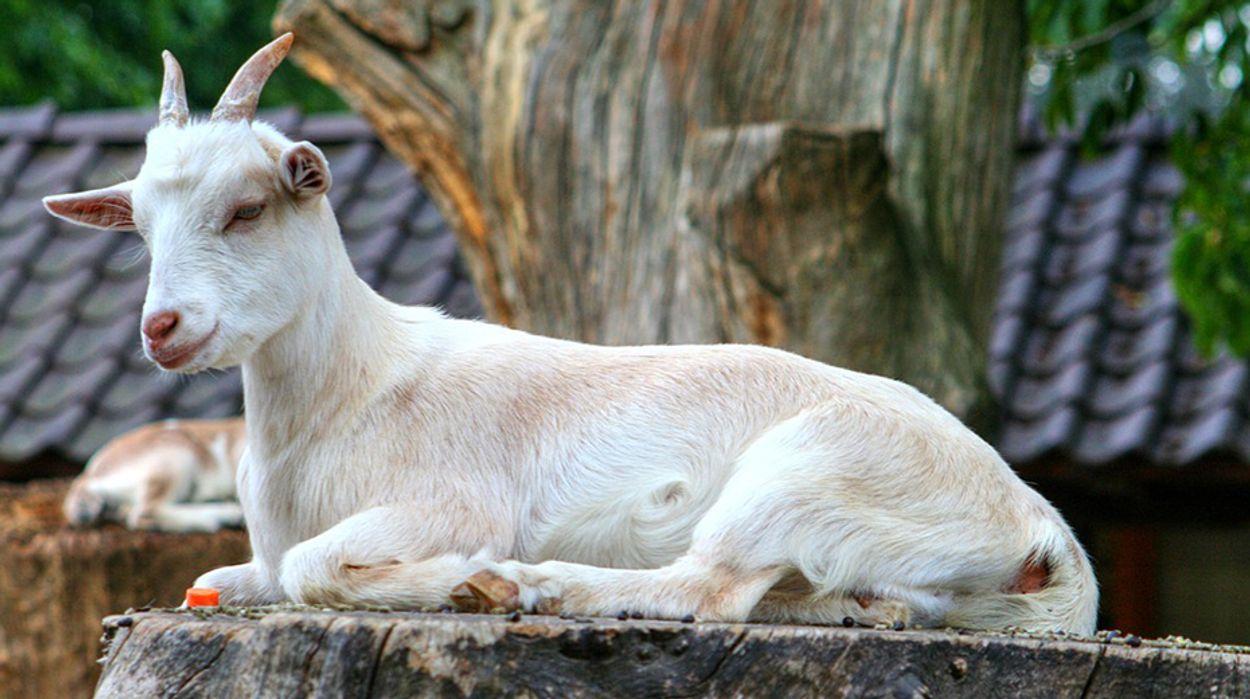 Afbeelding van Weer relatie tussen geiten en longontsteking