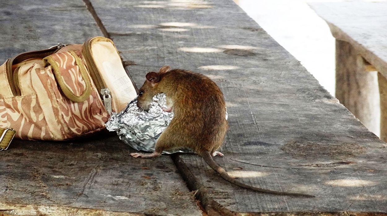 Afbeelding van Steeds meer bruine ratten in Nederland