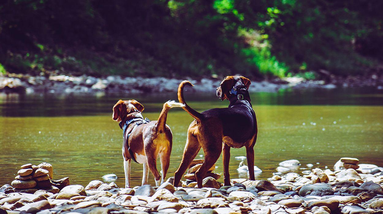 Afbeelding van Hitte dodelijk voor honden