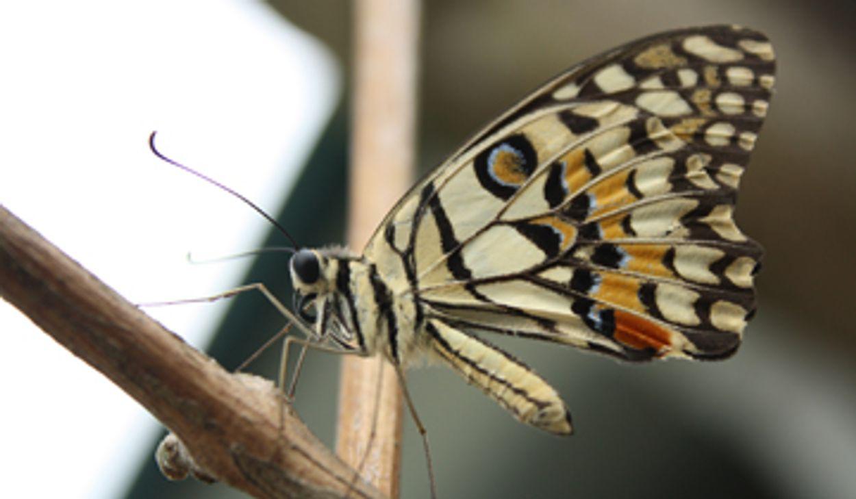 Afbeelding van Weer drie dagen vlinders tellen