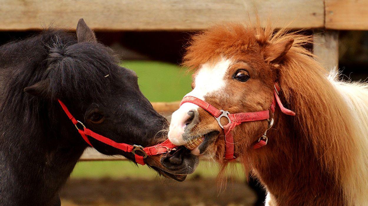 Afbeelding van Vier jaar cel geëist voor paardenvleesfraude