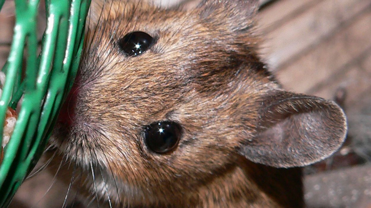 Afbeelding van Europees Parlement wil mondiaal verbod op dierproeven cosmetica
