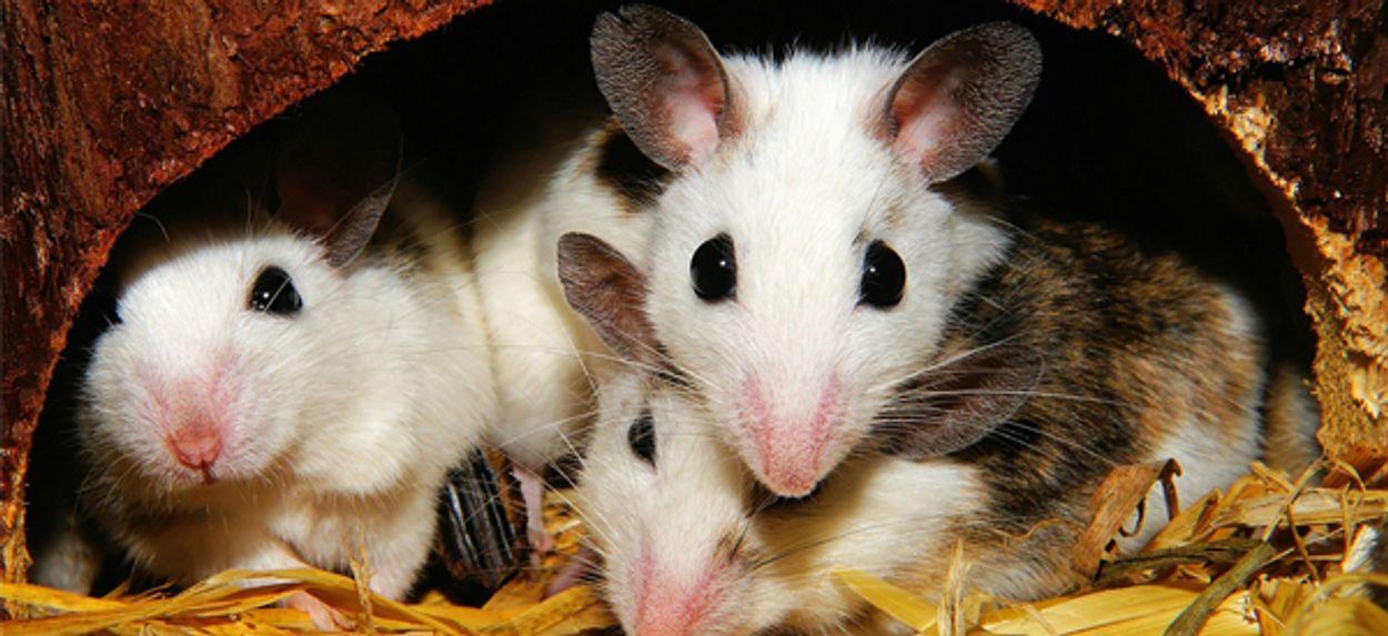 Afbeelding van Gel PIP-implantaten getest op muizen
