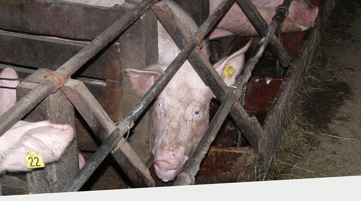 Afbeelding van Dier&Recht: verbied roostervloer vleeskalveren