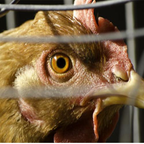 Afbeelding van Animal Rights toont opnieuw beelden van 'horrorkippenschuren'