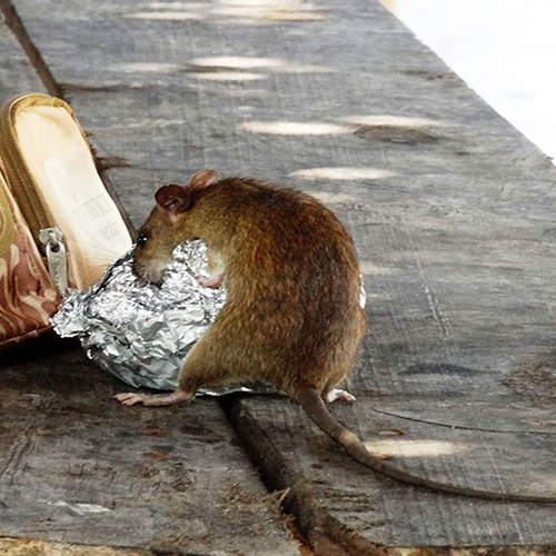 Afbeelding van Extra Info: Steeds meer bruine ratten in Nederland