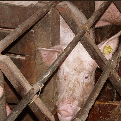 Afbeelding van Activisten willen varkens uit fokkerij halen