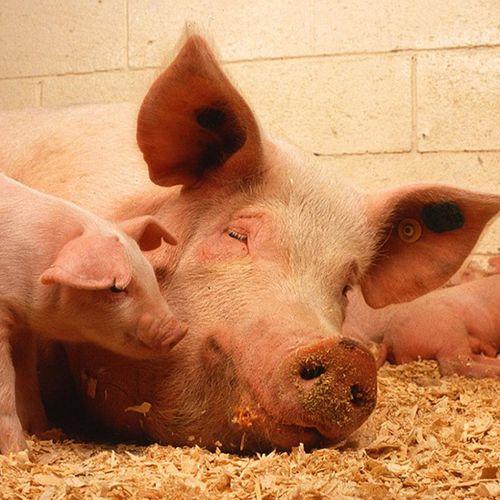 Afbeelding van Varkens in Nood wil accijns op vlees