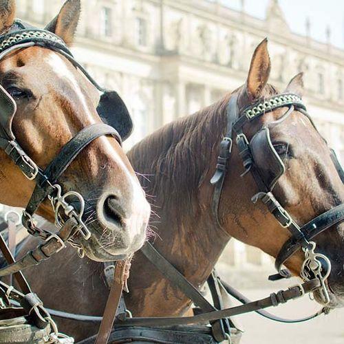 Afbeelding van 'Leg werk koetspaarden aan banden'