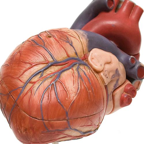 Afbeelding van Vrouwen met hartfalen hebben minder medicijnen nodig dan mannen